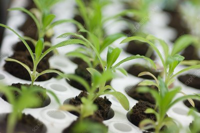 Strawflower seedlings