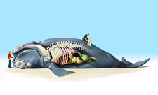 Dead beached whale anatomy, illustration