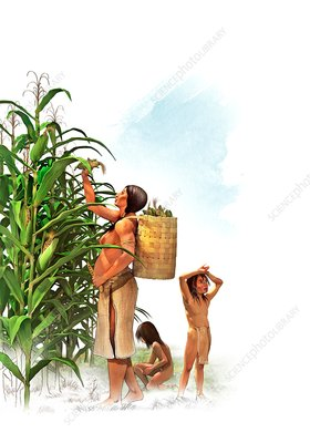 Iroquois maize harvest, illustration