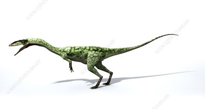 Coelophysis dinosaur, illustration