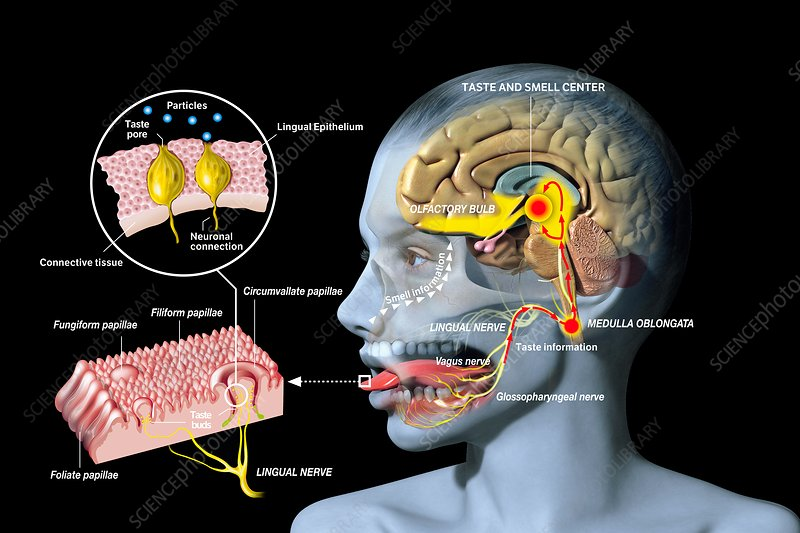 Taste and smell physiology, illustration - Stock Image C036/7683 ...