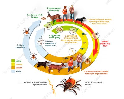 Lyme disease cycle, illustration