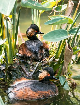 Pair of black-necked grebes