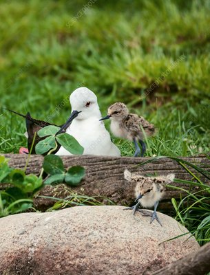 Female black-winged stilt with chicks