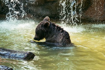Young adult brown bear in water