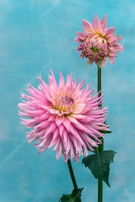 Cactus dahlia (Dahlia Mary Team')