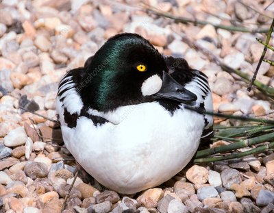 Male goldeneye duck in breeding plumage