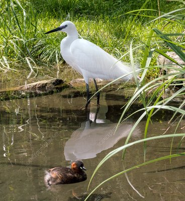 Little egret standing in water