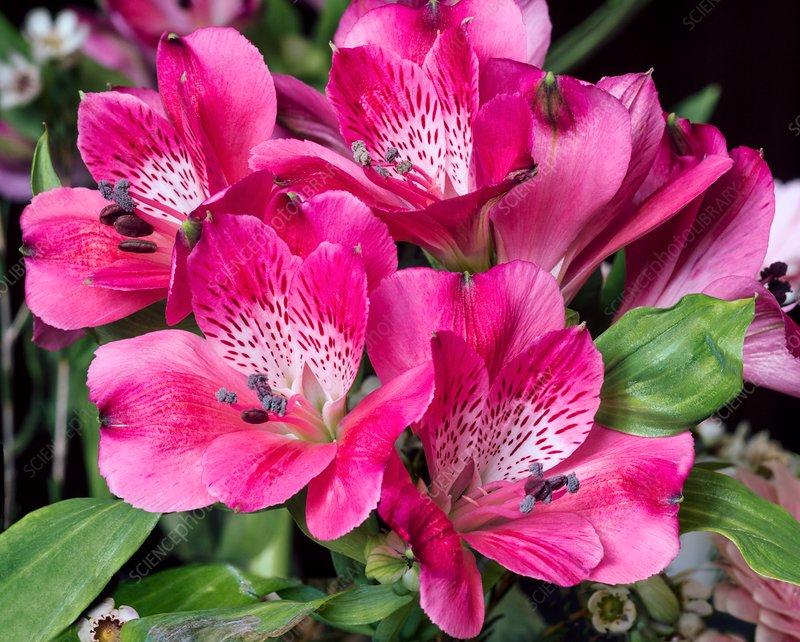 Peruvian Lily Alstroemeria Tessa Stock Image C036 8218 Science Photo Library