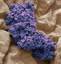 Bacterial culture from raw chicken, SEM