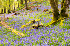 Bluebells, Lake District, UK