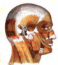 Human head muscles, 19th Century illustration