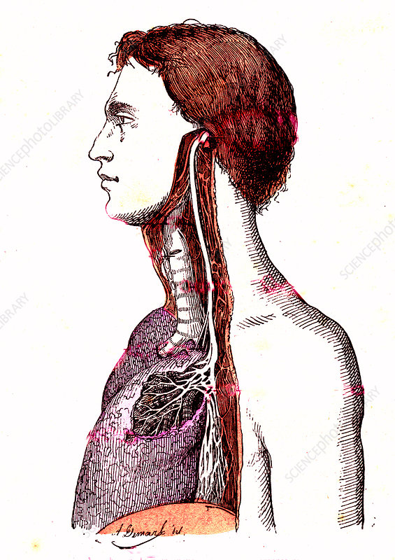 Human respiratory system, 19th Century illustration