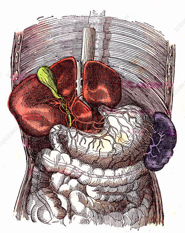Human digestive system, 19th Century illustration