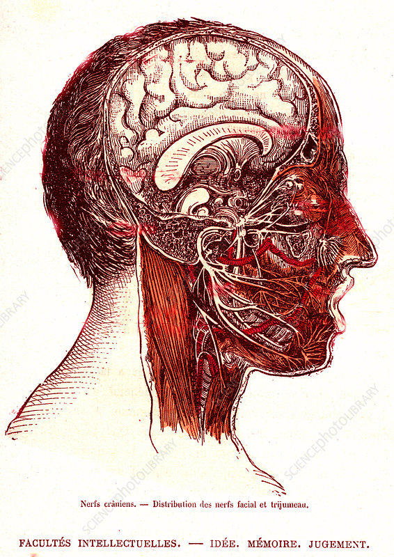 Human cranial nerves, 19th Century illustration