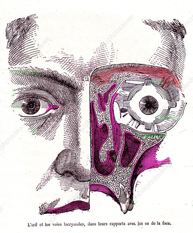 Human eye anatomy, 19th Century illustration