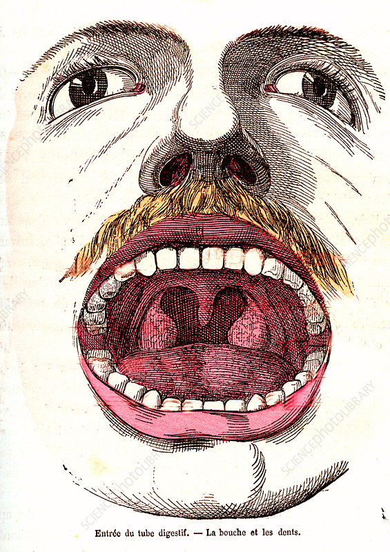 Human mouth, 19th Century illustration
