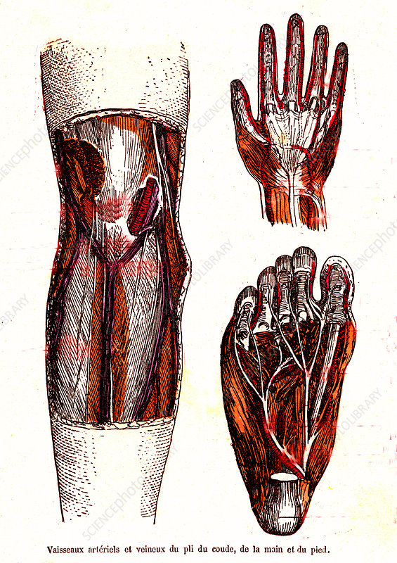 Hand, foot and knee anatomy, 19th Century illustration