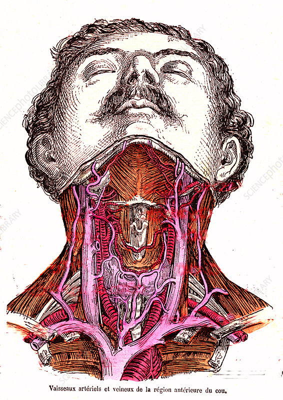 Neck blood vessels, 19th Century illustration