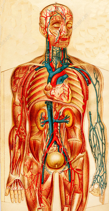 Human circulatory system, 19th Century illustration