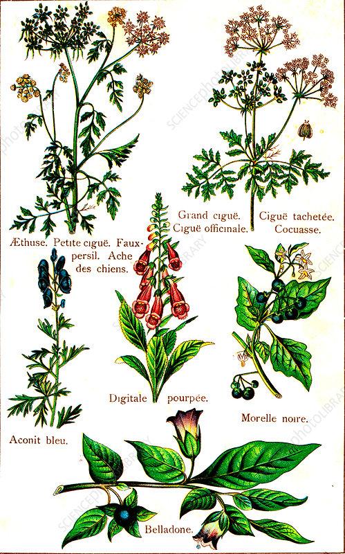 Poisonous plants, 19th Century illustration