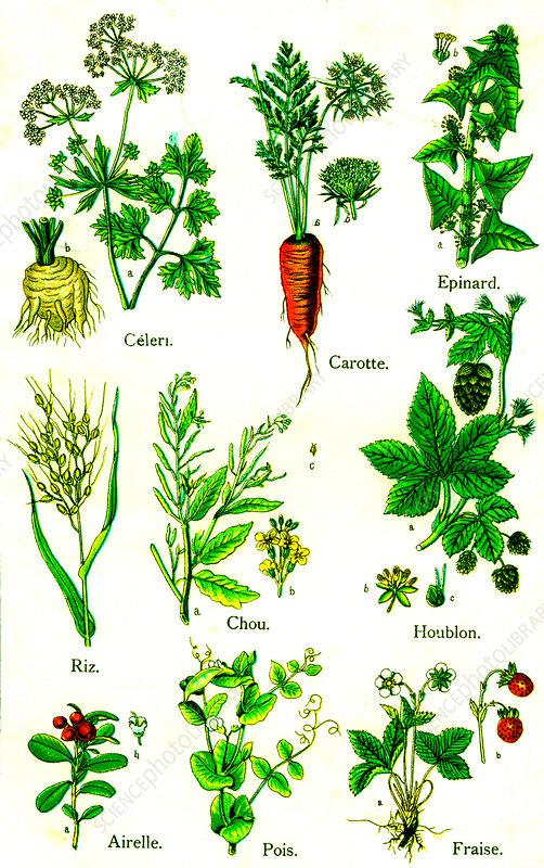 Edible plants, 19th Century illustration