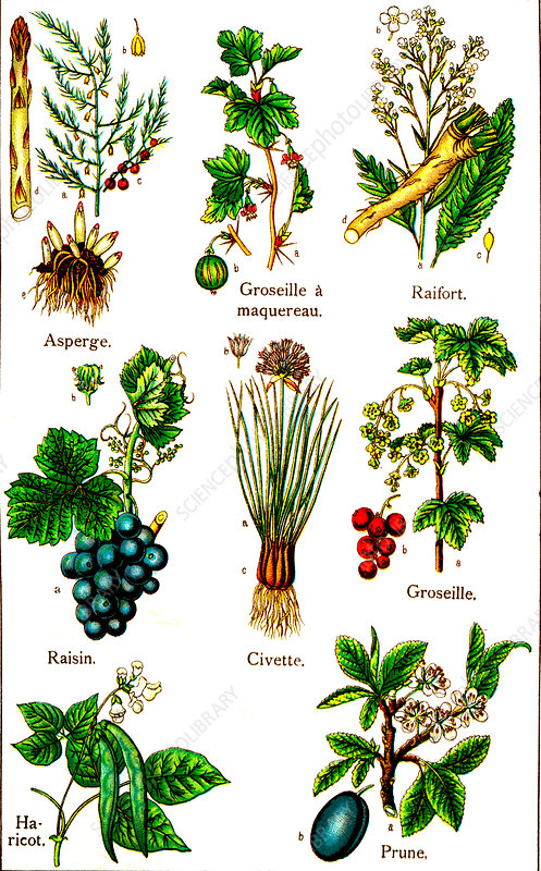 Edible plants, 19th Century illustration