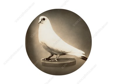 White dove preserved in memory of Nikola Tesla