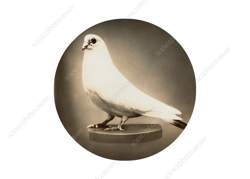 White dove preserved in memory of Nikola Tesla