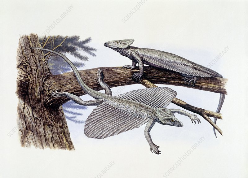Coelurosauravus prehistoric lizards, illustration
