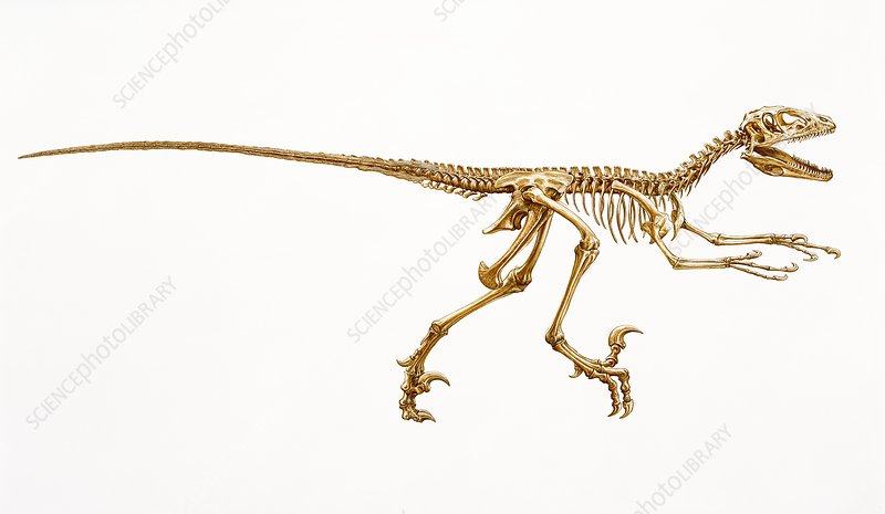 Deinonychus dinosaur skeleton, illustration