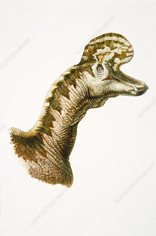 Hadrosaur head, illustration