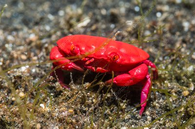 Red crab on a reef, Indonesia