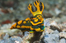 Nudibranch on a reef, Indonesia