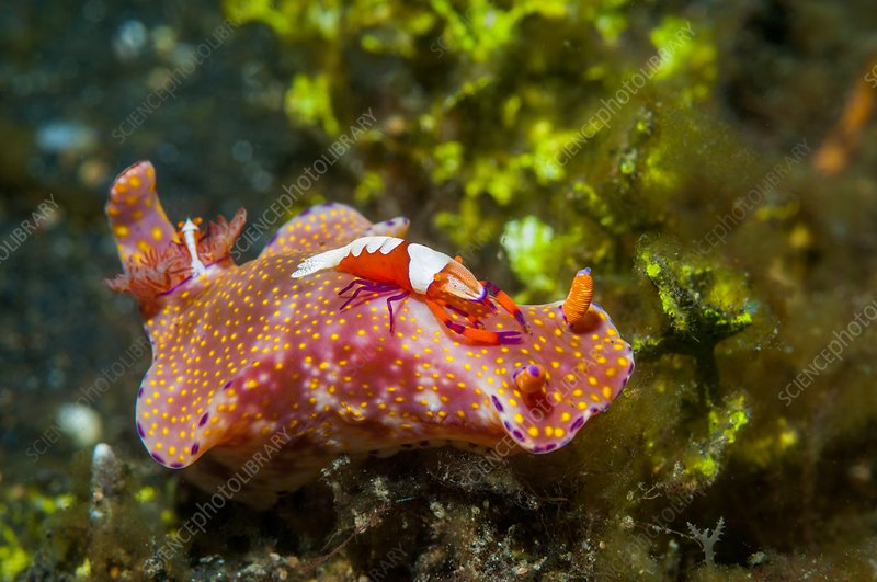Nudibranch and cleaner shrimp, Indonesia