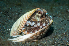 Veined octopus hiding in a shell, Indonesia