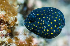 Guineafowl puffer, Indonesia