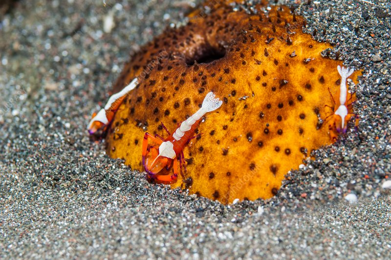 Cleaner shrimp on sea cucumber, Indonesia
