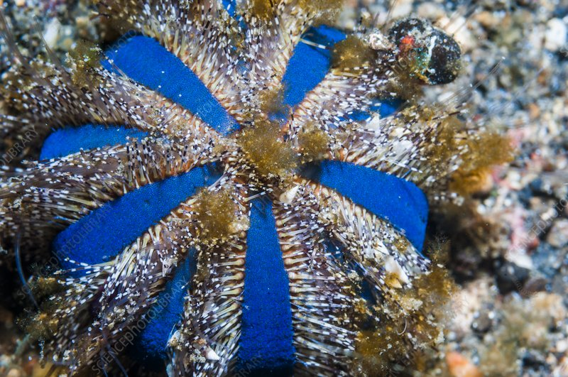 Globe sea urchin, Indonesia