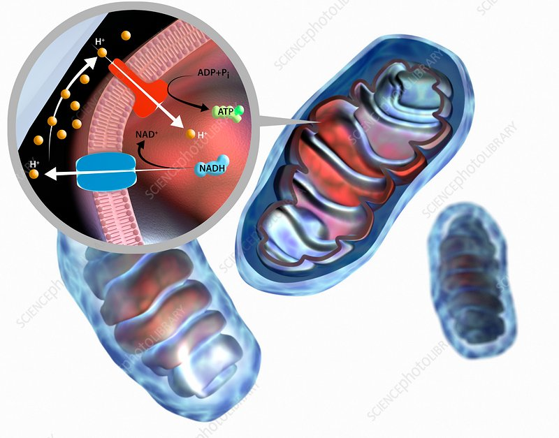 Mitochondrial membrane proteins, illustration