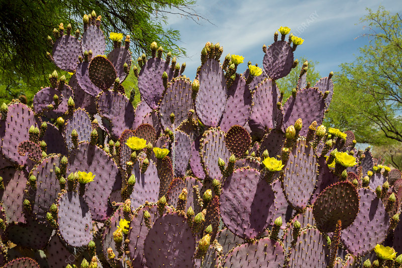 Purple prickly pear (Opuntia sp.) cactus in flower