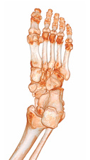 Human foot, 3D CT scan