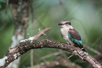 Juvenile brown hooded kingfisher