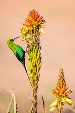 Male malachite sunbird feeding on nectar
