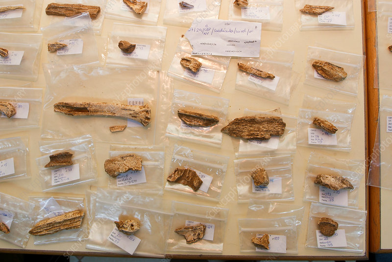 Cataloguing of Neanderthal fossils