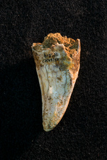 Hyena tooth fossil