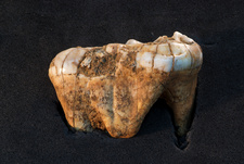 Bear tooth fossil