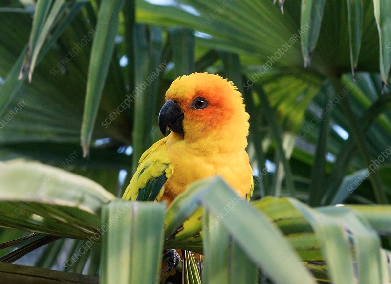 Sun parakeet in a palm tree