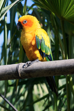 Sun parakeet perched on bamboo
