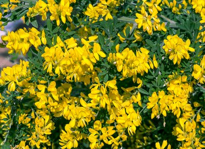 Broom (Genista 'Porlock') in flower